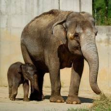 Sloní samička oslavila první měsíc života