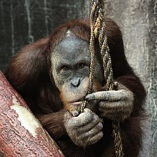 zoo-praha-Orangutan-sumatersky_Filip