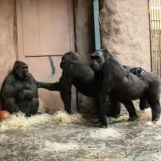 zoo-praha-bikira-poprve-s-prazskymi-gorilami