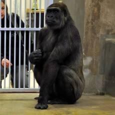 zoo-praha-gorili-samice-bikira