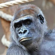 Šestnáctiletá gorilí samice Bikira je březí