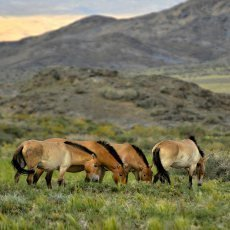Návrat divokých koní prospěje i Mongolům