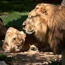 Do ZOO za korunu na oslavu lvích narozenin