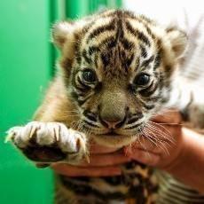 Třetí generací pražských tygrů sumaterských jsou dvě holky