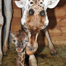 zoo-praha-mlade-zirafa-s-matkou