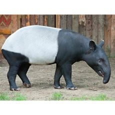 Do ZOO za korunu za černobílým tapírem čabrakovým