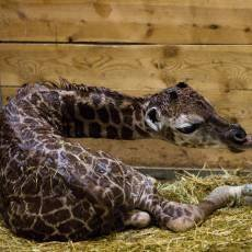 zoo-praha-zirafa-mlade-samice-diany