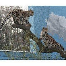 zoo-usti-levhart-mladata-2009