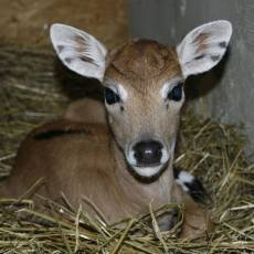 zoo-usti-nad-labem-antilopa-indicka-mlade