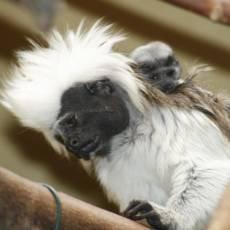 zoo-usti-tamarin-pinci