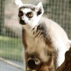 zoo-usti-nad-labem-mlade-lemur-kata-