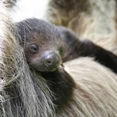 zoo-usti-nad-labem-mlade-lenochod