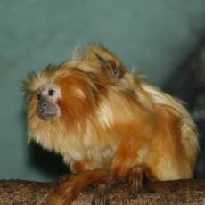 zoo-usti-nad-labem-mlade-lvicek