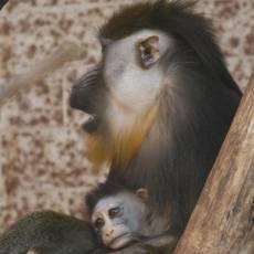 zoo-usti-nad-labem-mlade-mandril-ryholici