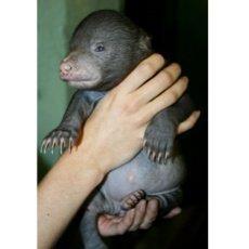 Medvídě přišlo o prsty, i tak je radost z přírůstku veliká