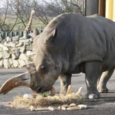 zoo-usti-nad-labem-nosorozec-tuponosy