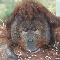 zoo-usti-orangutan