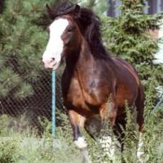 kůň shirský