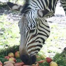 Zebra Blanka z ústecké zoo oslavila kulatiny